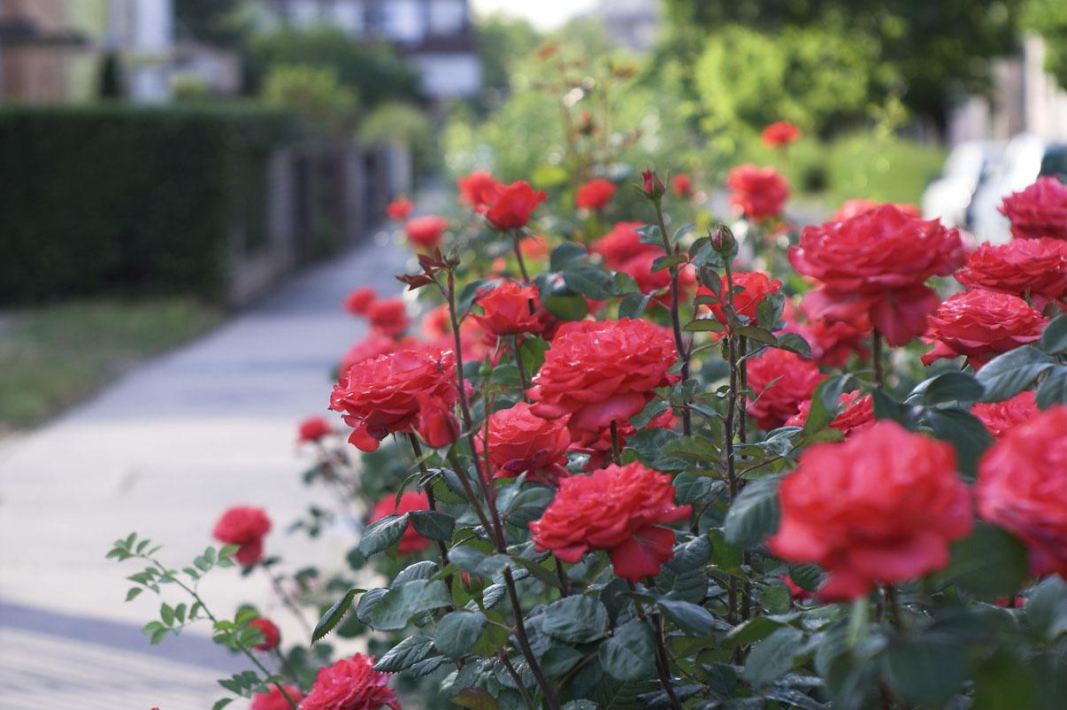 Planter rosiers
