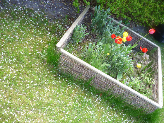 tulipes-conseil-jardinage
